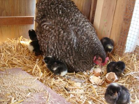 Cuckoo Marans Chickens