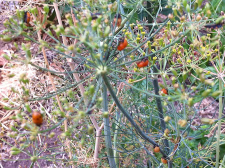 sunstone dill ladybeetles