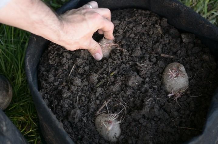 Planting Potatoes in Bags