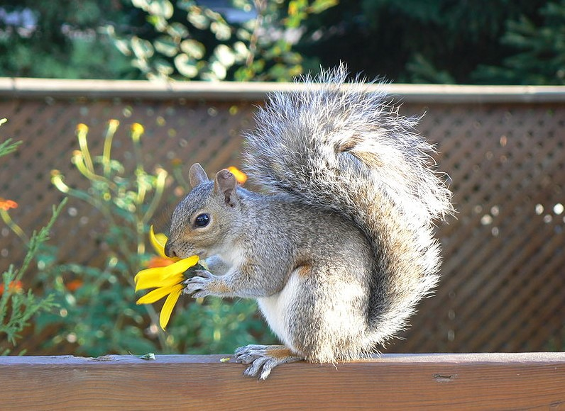 How to keep squirrels out of raised garden beds