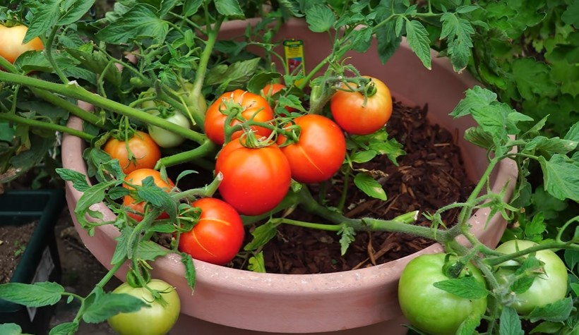 10 Tips on how to make tomato plants grow faster