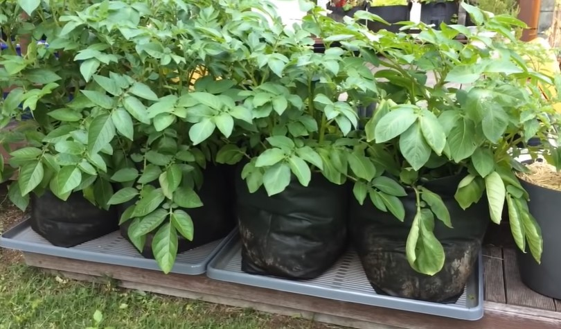 When to plant potatoes in growing bags?