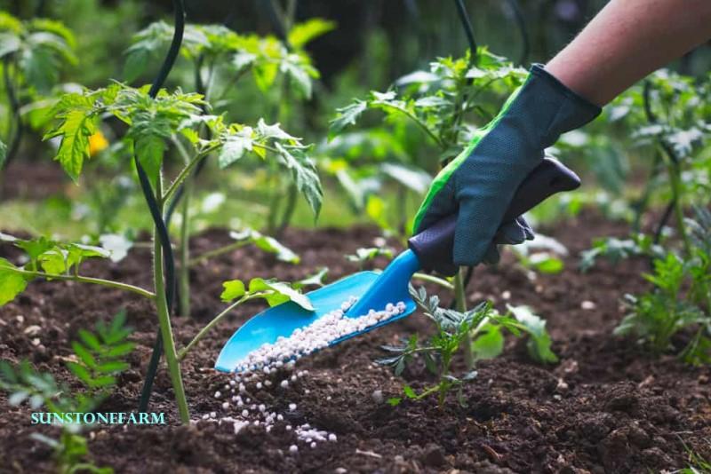 fertilizing seedling tomatoes