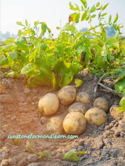 How long do potatoes take to grow?