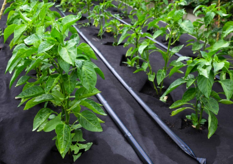Growing bell pepper plant
