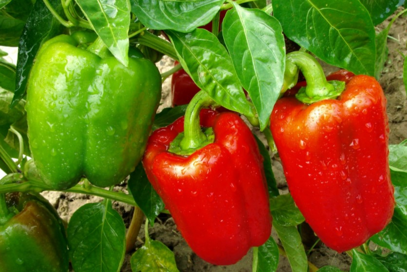 Time to harvesting bell peppers