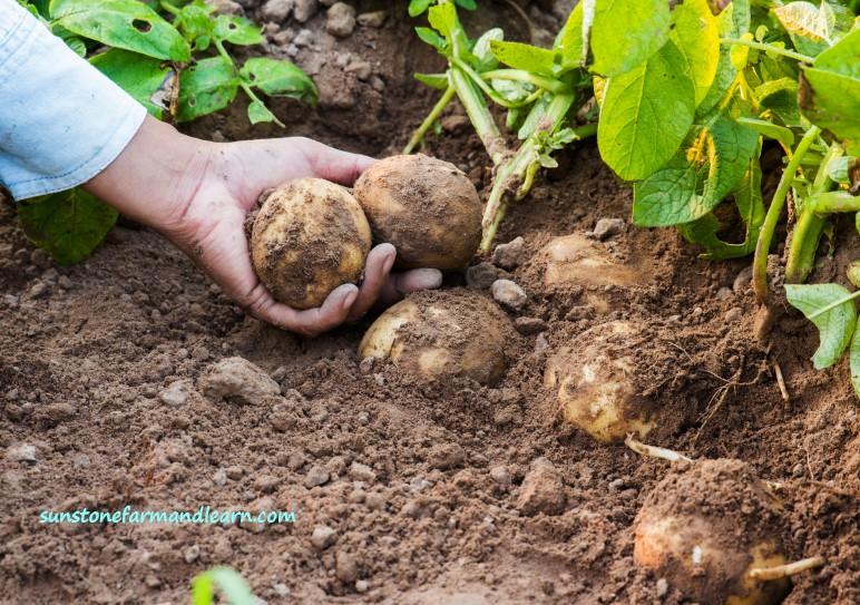 Harvesting fresh organic potatoes