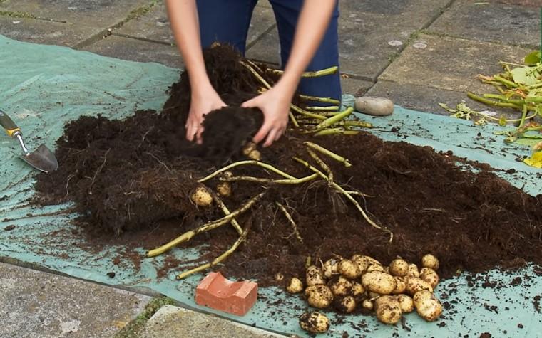 Harvesting potatoes in a grow bag