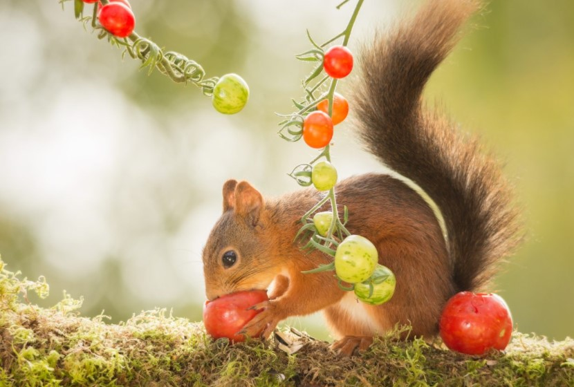 Squirrel eating tomatoes