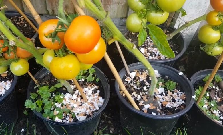 Using eggshells for tomato plants