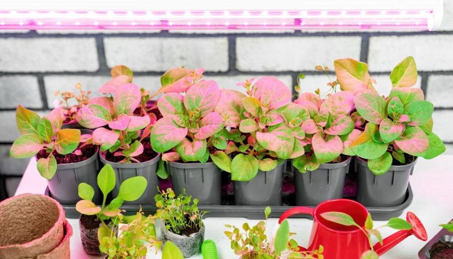 Growing seedlings under grow lights