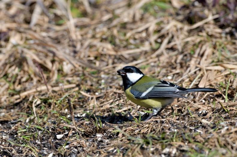 bird eating grass seed