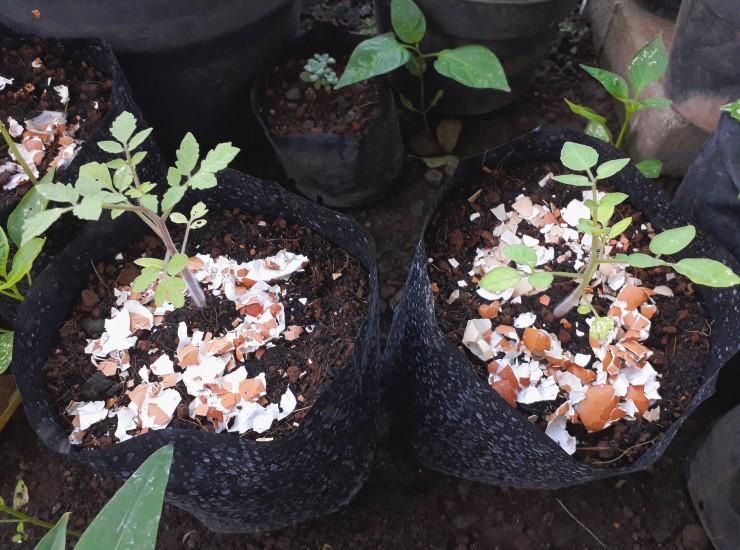 Eggshells as fertilizer for tomato plants