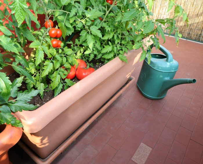 feed the tomato plants