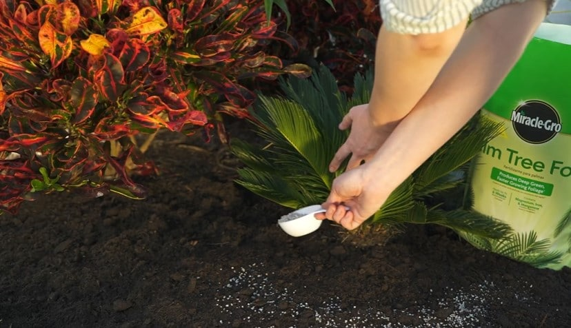 Fertilizing palm trees with Miracle-Gro Palm Tree Food
