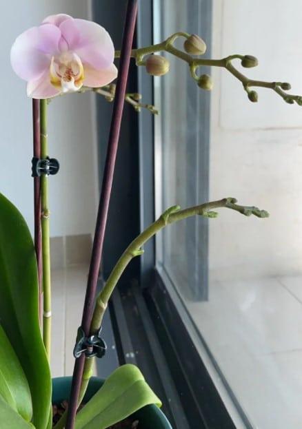 orchid rebloom