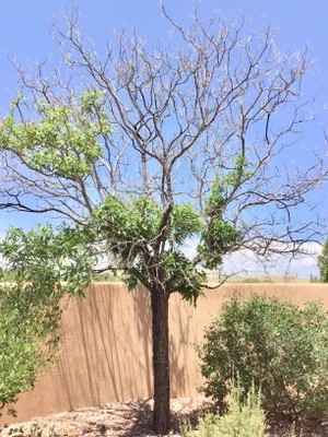 stunted growth of trees