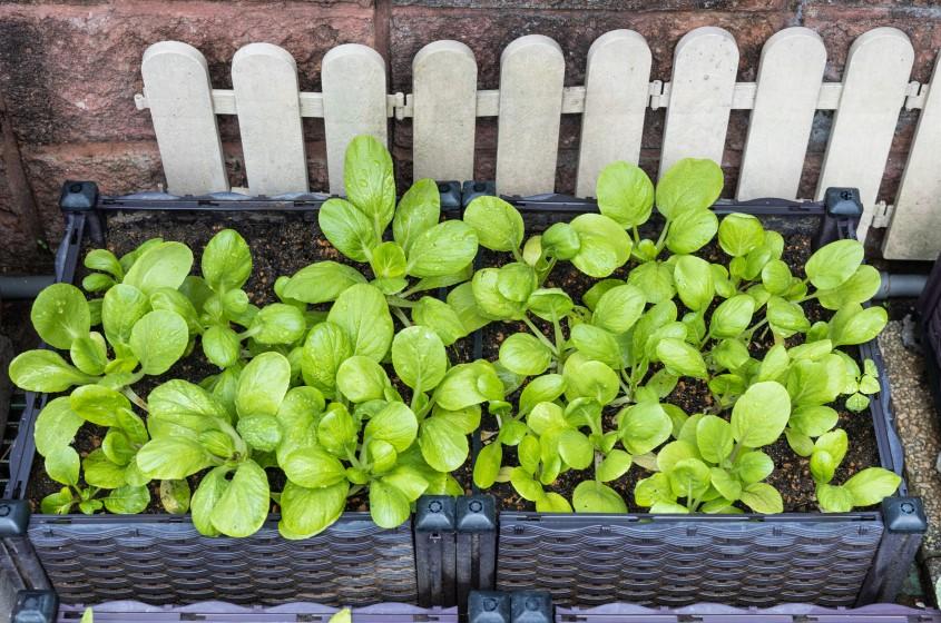 Vegetable grown in planter box at home garden