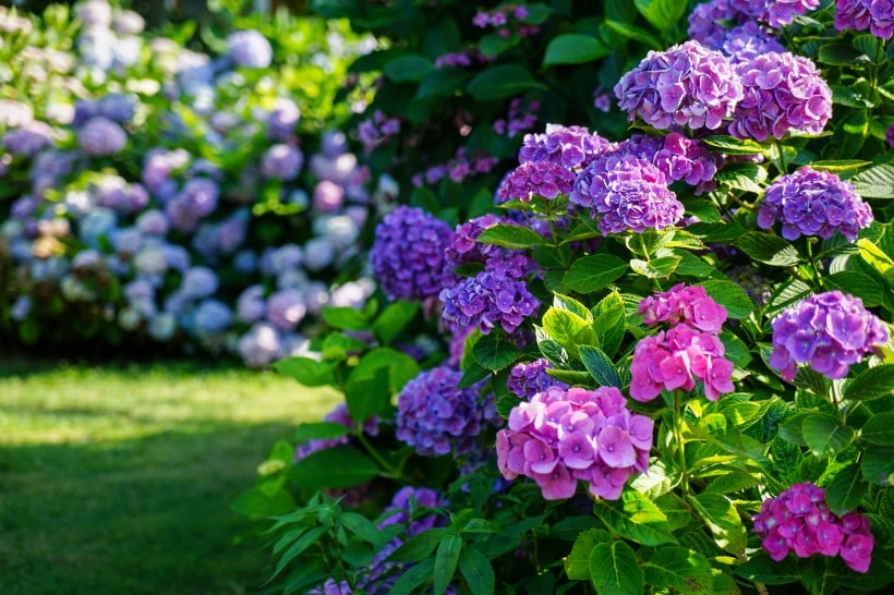 The best fertilizer for hydrangeas growth and bloom