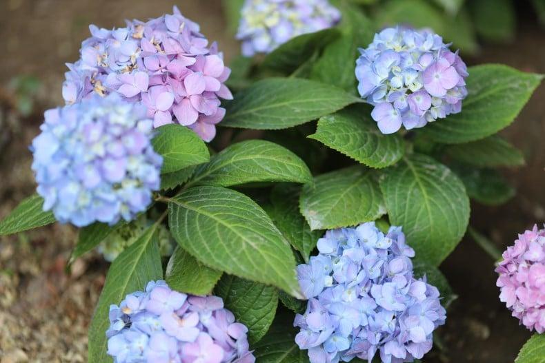 When is the best time to fertilize hydrangeas?