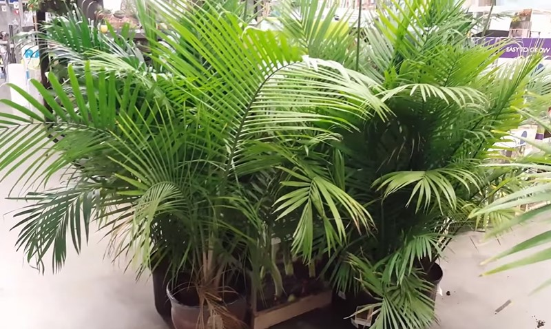 How to care for an indoor palm tree