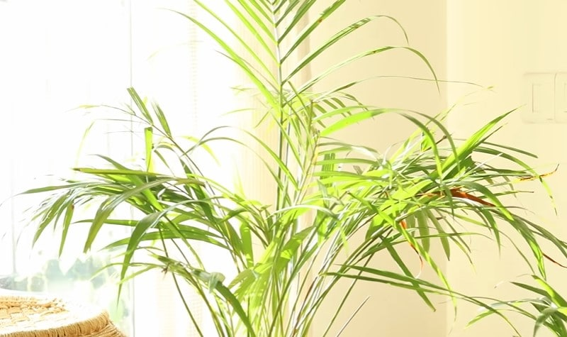 Light requirements for indoor palm tree